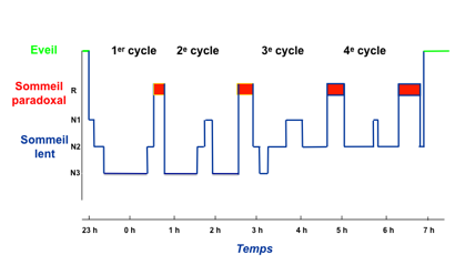 Cycle sommeil