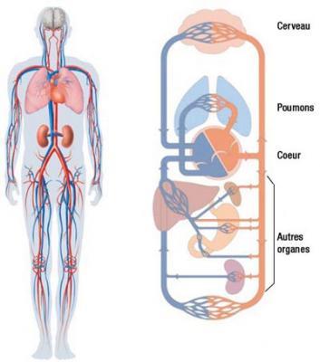 Sytème cardio vasculaire