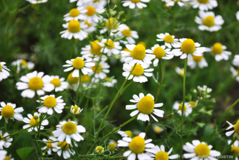 camomile-herbs-for-stress-relief